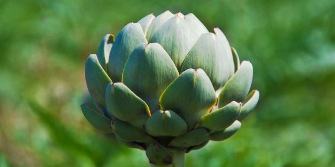 A budding artichoke